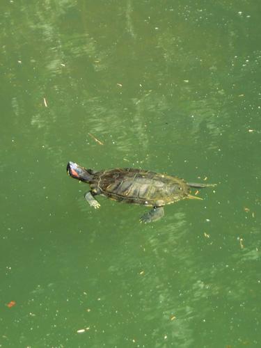 ミドリガメ ミシシッピアカミミガメ 川で泳ぐ亀 頭の横が赤い