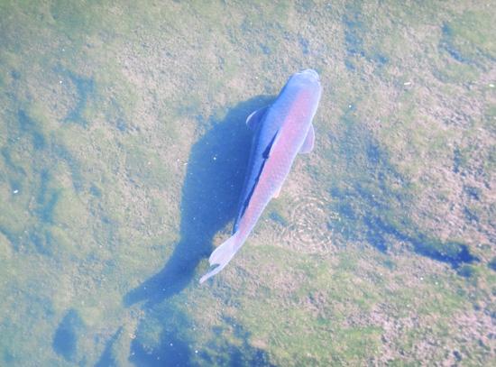 鯉 コイ 輝く鯉 泳ぐ鯉 自然の鯉