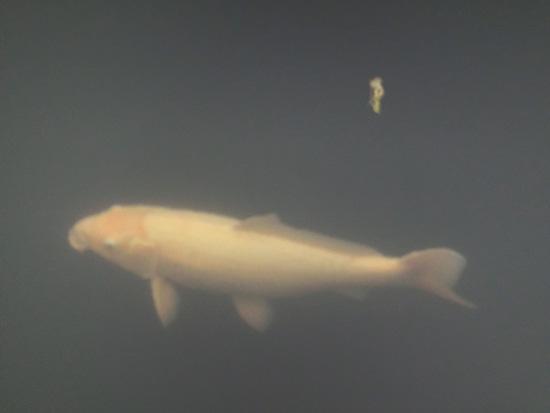 鯉 コイ 白い鯉 雨の日の川の鯉