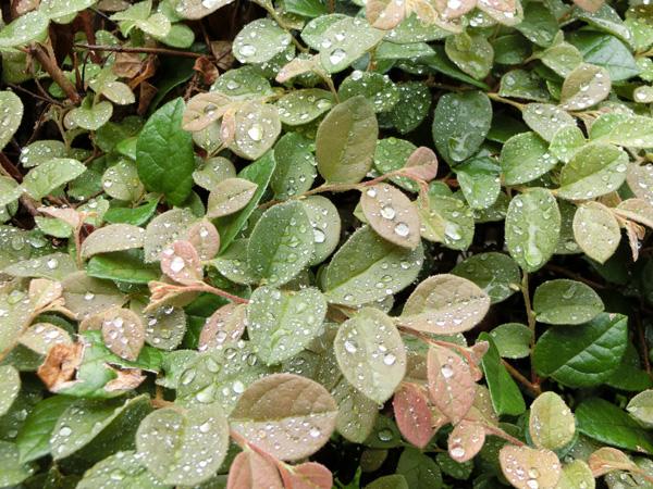 葉っぱの上の水滴 雨の雫 水滴 光る水