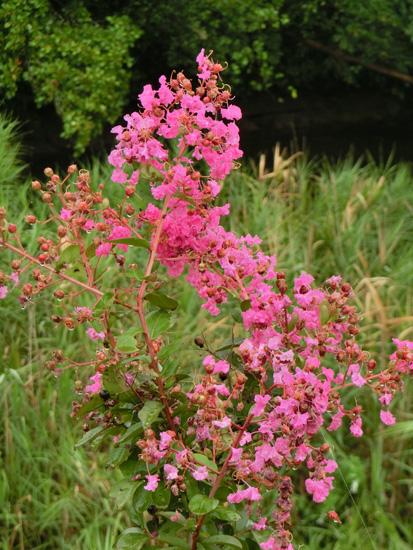 サルスベリ 百日紅 猿滑 ピンクのサルスベリの花