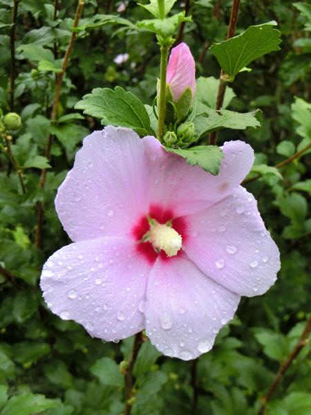 ムクゲ 木槿 中心だけ赤い白い花