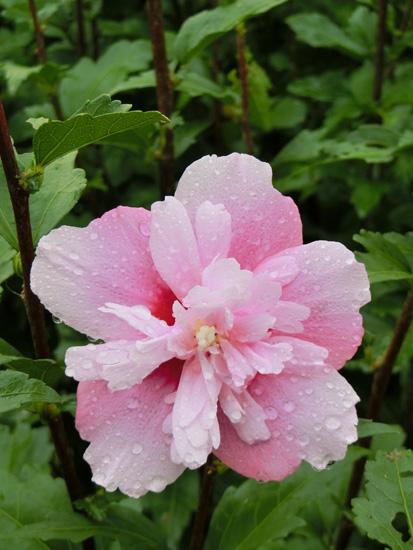 ムクゲ ピンクの八重ムクゲ 八重咲きの花