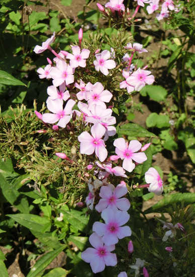 フロックス オイランソウ ピンクの宿根フロックス 花魁草 草夾竹桃