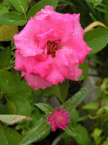 バラの花 雨の日の薔薇 Rosa