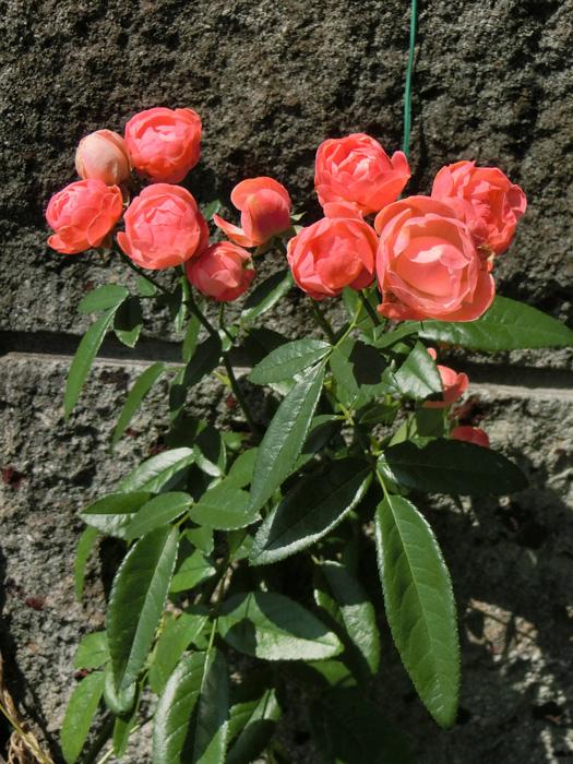 バラの花 薔薇 Rosa
