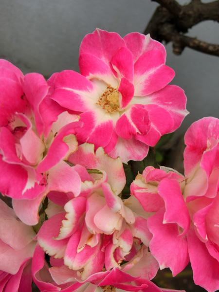 バラの花 薔薇 Rosa 白とピンクのバラ