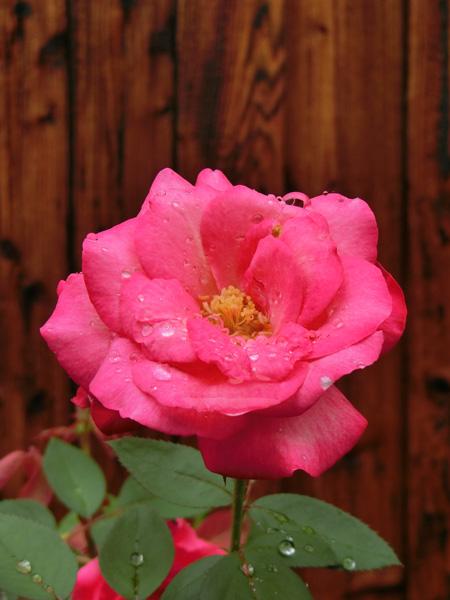 バラの花 薔薇 Rosa 雨上がりピンクのバラ