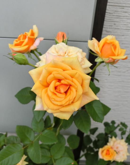 黄色のバラ 薔薇