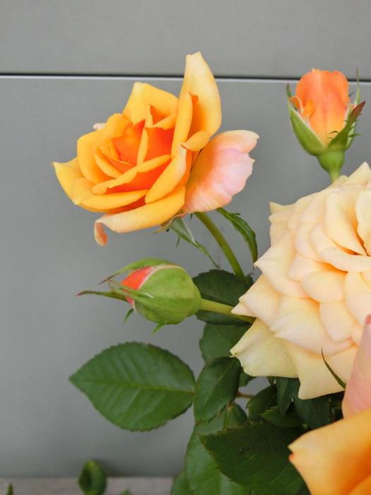 バラの花 薔薇 Rosa 黄色のバラ