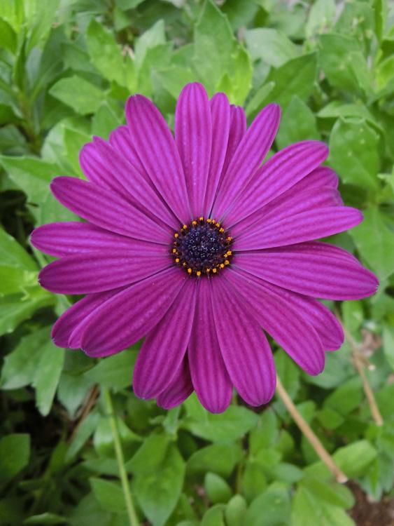 オステオスペルマム #Osteospermum #African daisy アフリカンデージー 紫の花