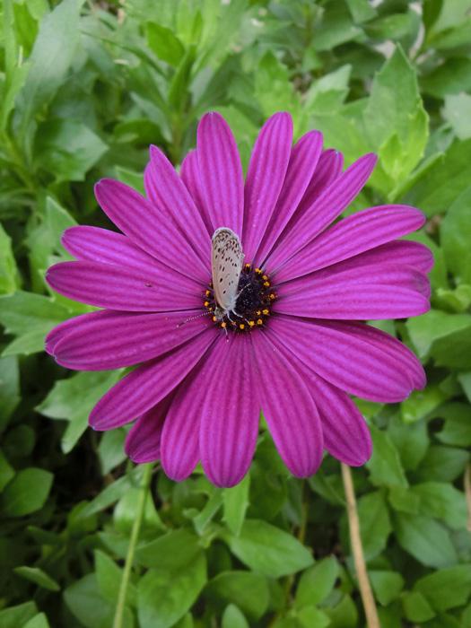 オステオスペルマム #Osteospermum #African daisy アフリカンデージー 紫の花と蝶