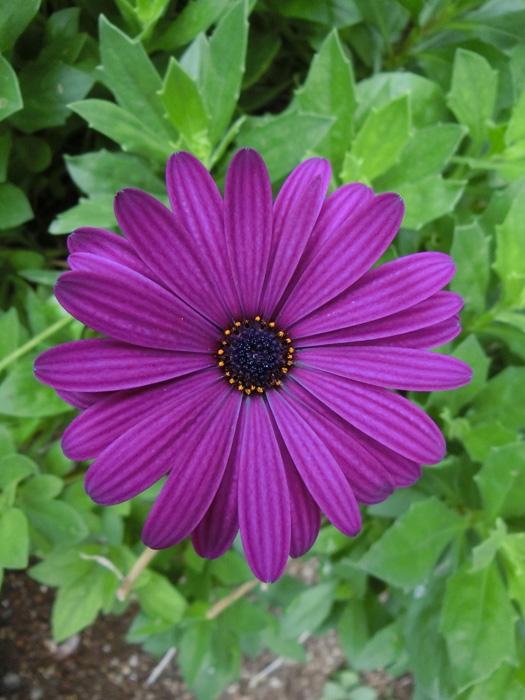 オステオスペルマム #Osteospermum #African daisy