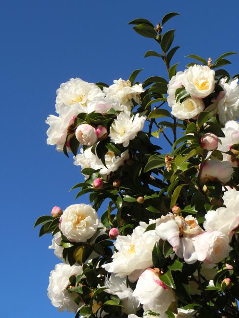 サザンカ 富士の峰 白い花と青空