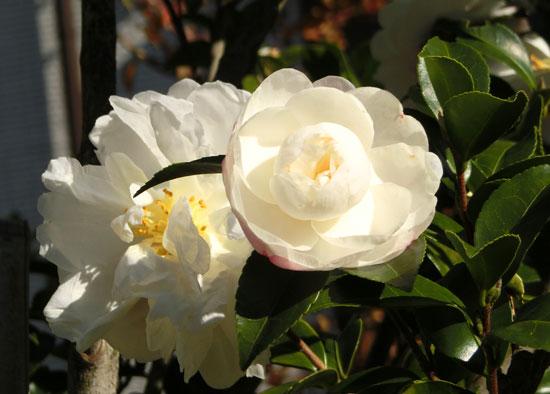 サザンカ 山茶花 白いツバキ