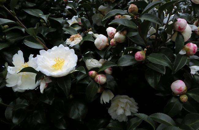 サザンカ 山茶花 白い花