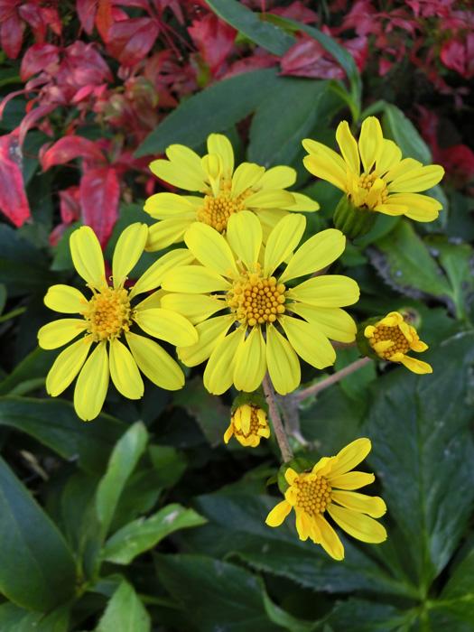 ツワブキ 石蕗 葉は蕗に似て黄色の菊系の花が咲く