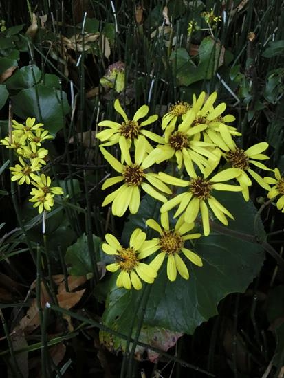 ツワブキ 石蕗 日陰に黄色の花
