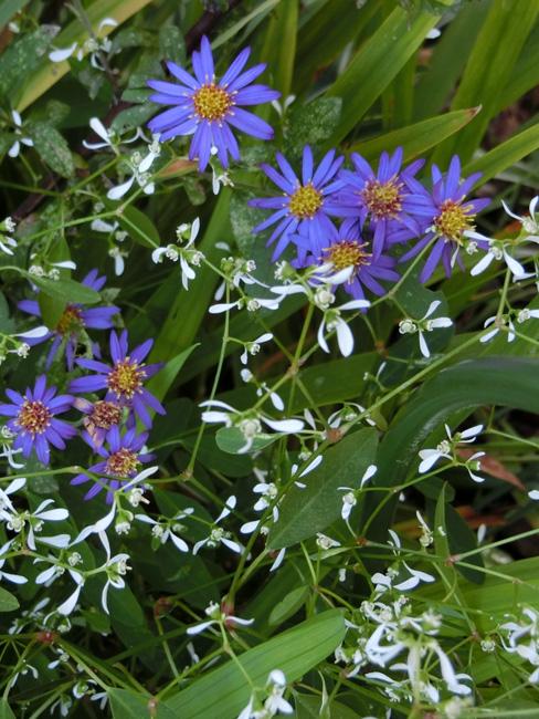 晩秋の花 菊科 菊属 青い花