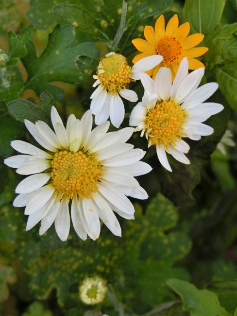 晩秋の花 菊科 菊属