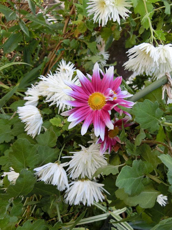 晩秋の花 菊