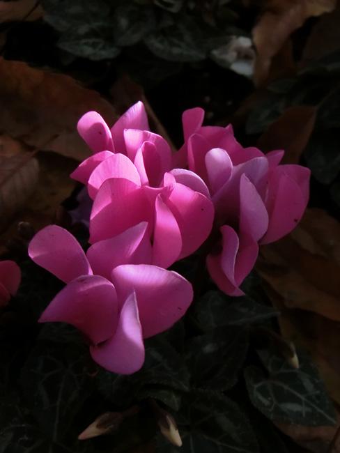 sow bread ピンクのシクラメン 射し込む光で美しく浮かび上がるシクラメン