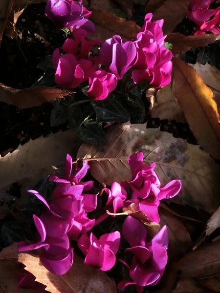 シクラメン ピンクのシクラメン 枯葉とシクラメン