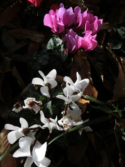 シクラメン 白とピンクのシクラメン 冬の公園にて