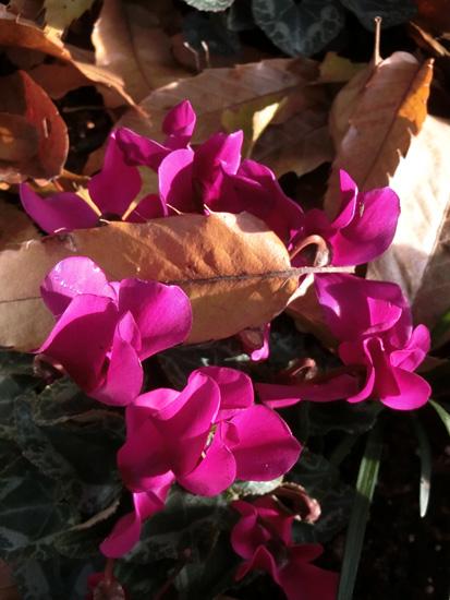 枯れ葉とシクラメン マゼンタ色のシクラメン