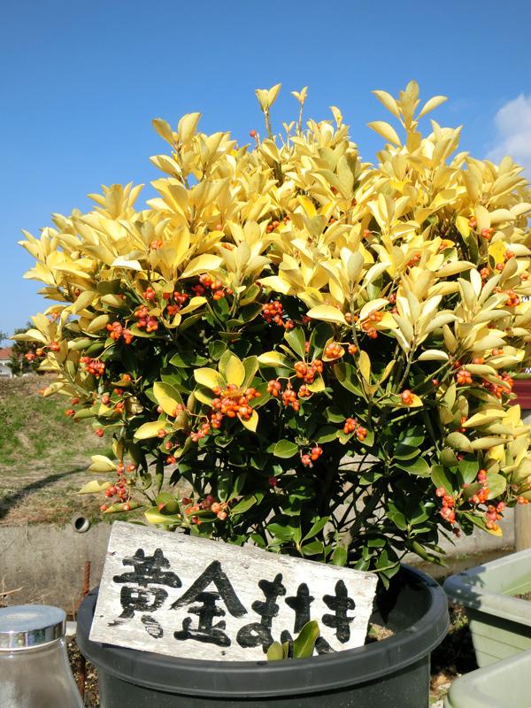 黄金マサキ 赤い実をつけた冬のオウゴンマサキ 黄色い若葉が陽に照らされて輝く