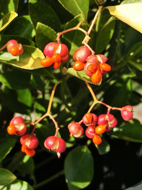 黄金マサキ 熟して裂けた実赤い実 オウゴンマサキの種