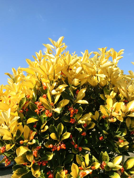 黄金マサキ 赤い実 黄色い葉 冬のオウゴンマサキ 若葉が陽に照らされて黄金色に輝く