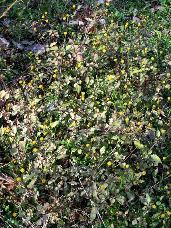 西日を浴びる黄色い小花 冬の庭