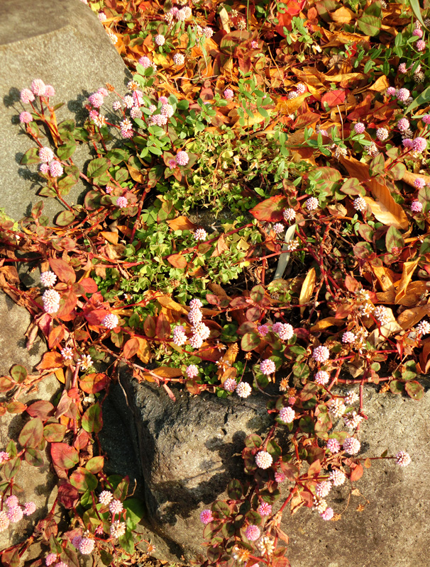 西日を浴びるヒメツルソバ 冬の庭