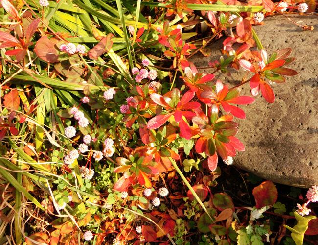 西日を浴びるツツジとヒメツルソバ ミニツツジの紅葉