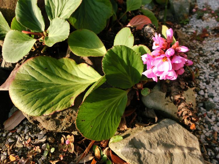 ヒマラヤユキノシタ 冬のピンクの花 丸い葉に太い茎