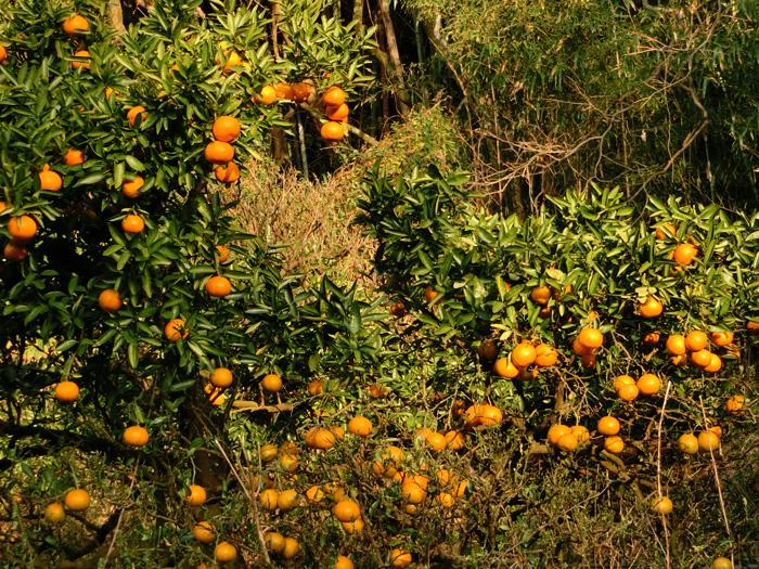 柑橘系の実 たぶん夏みかん 夕陽を浴びるみかんの木