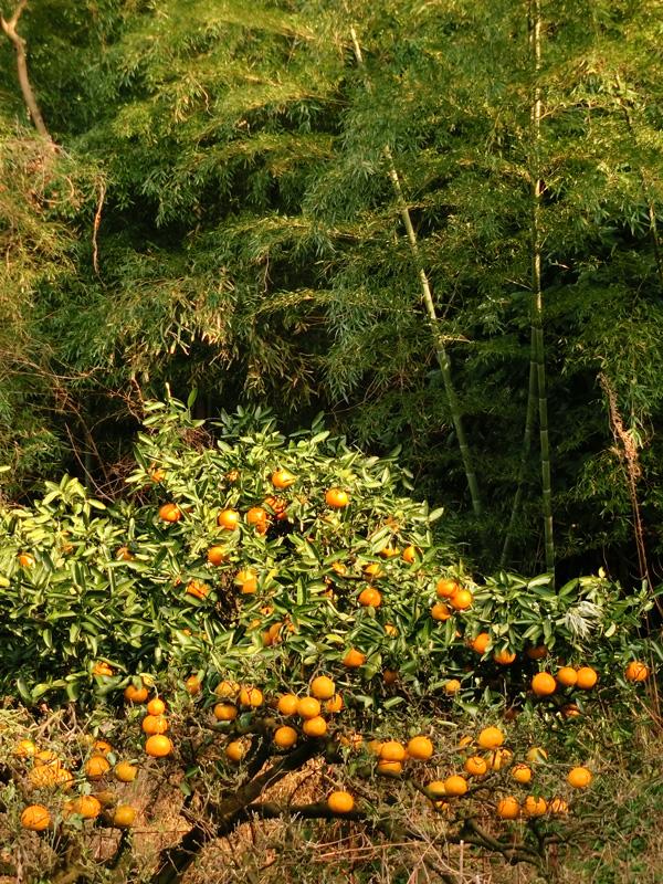 柑橘系の木 たぶん夏みかん 夕陽を浴びるみかんの木