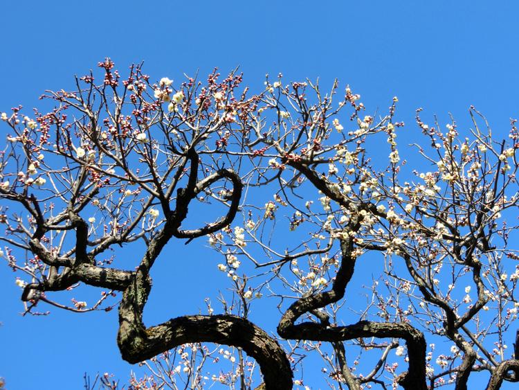 ウメ 白梅 青空と梅の木 枝振りの良い梅