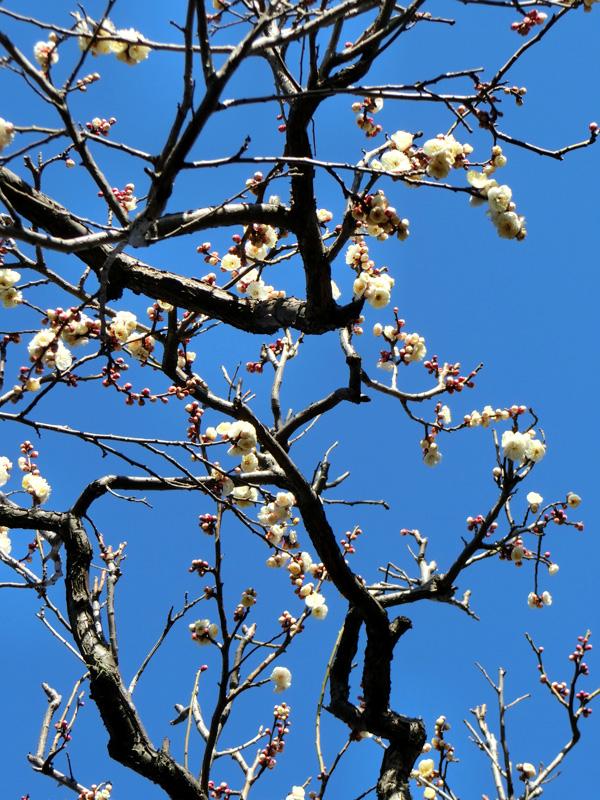 ウメ 白梅の花 青空と梅の木