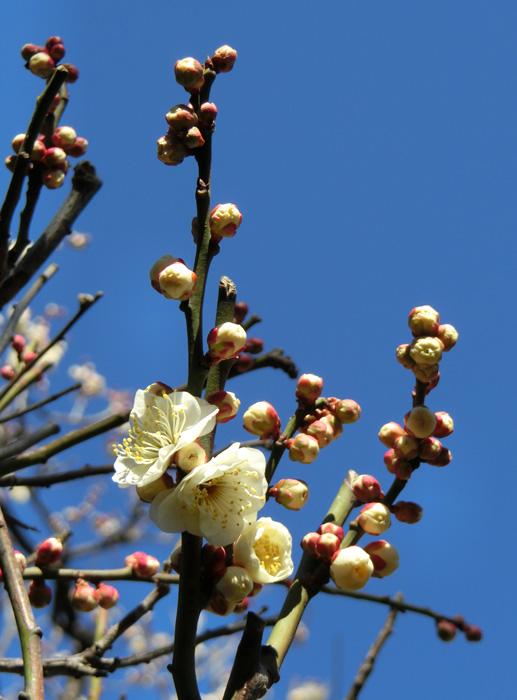 梅の花 ウメ 青空と梅の木