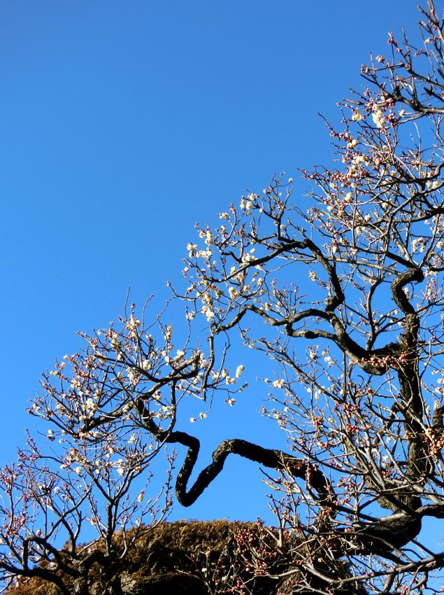 ウメ 白梅 青空と梅の木 枝振りが良い梅