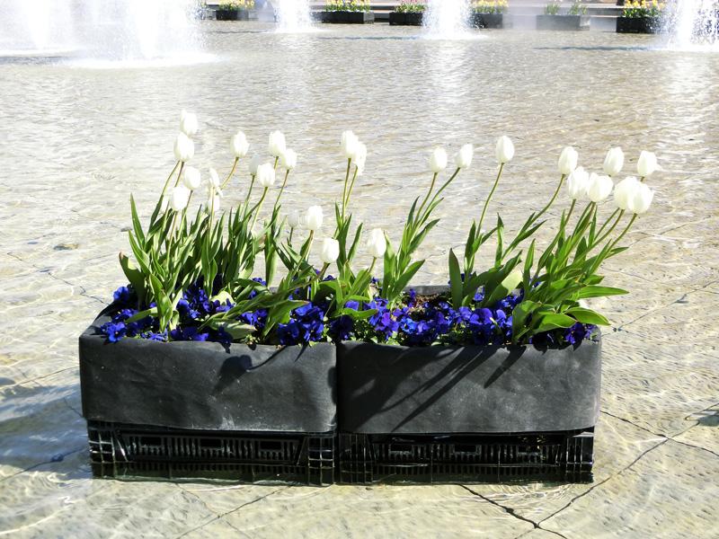 上野恩賜公園大噴水のアイスチューリップ 白いチューリップの花 2月のチューリップ上野竹の台噴水にて