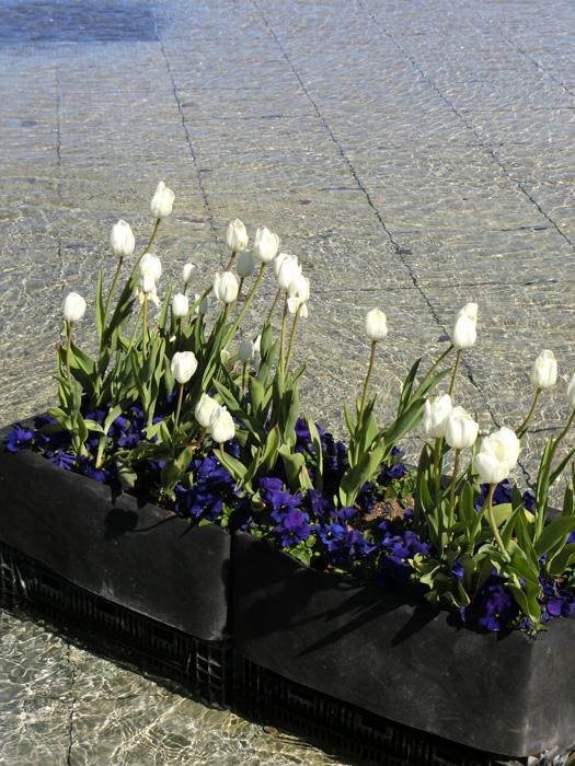 白チューリップ 上野公園噴水広場のアイスチューリップ 水辺のチューリップ