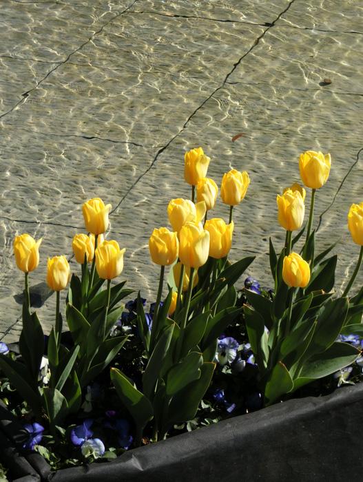 黄色チューリップ 上野公園噴水広場のアイスチューリップ 水辺のチューリップ