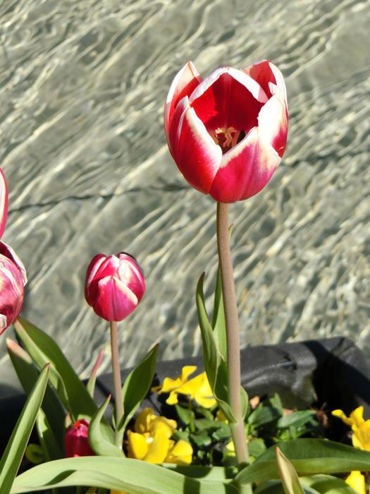 紅白チューリップ 上野公園噴水広場のアイスチューリップ 水辺のチューリップ