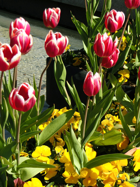 上野公園噴水広場のアイスチューリップ 赤いチューリップの花 2月のチューリップ上野大噴水にて
