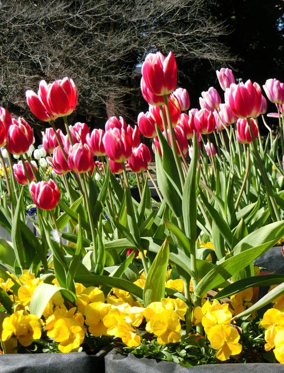 赤いチューリップの花 上野公園噴水広場のアイスチューリップ 2月のチューリップ