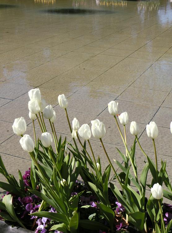 上野公園噴水広場のアイスチューリップ 白いチューリップの花 2月のチューリップ上野大噴水にて