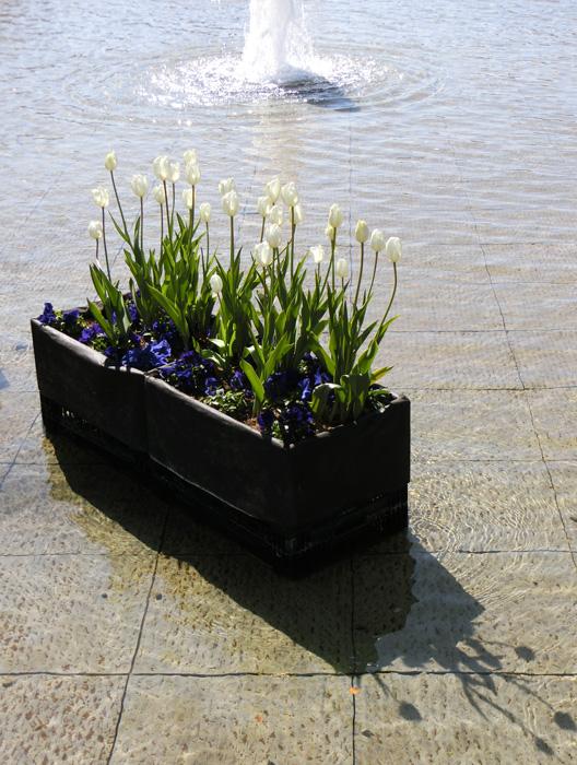 上野公園噴水広場のアイスチューリップ 白いチューリップの花 噴水と逆光のチューリップ